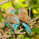 Blue Waxbill - Dwangwa