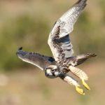 Lanner Falcon - Addo