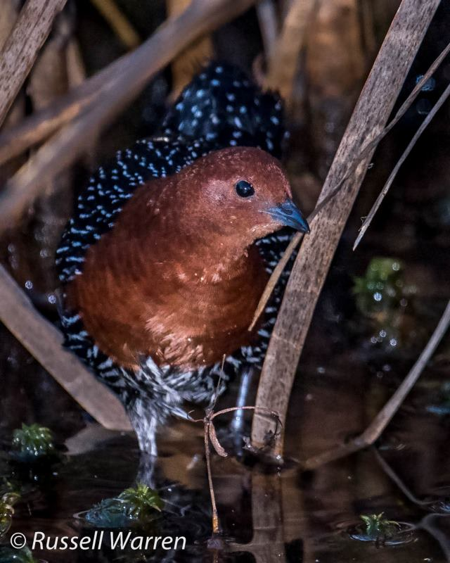 Red-Chested Flufftail - Ntsikeni