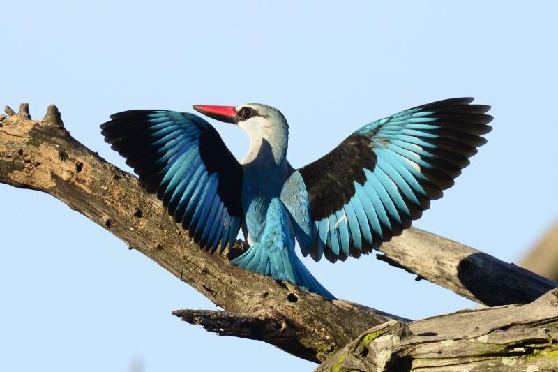 Woodland Kingfisher - Chiredzi